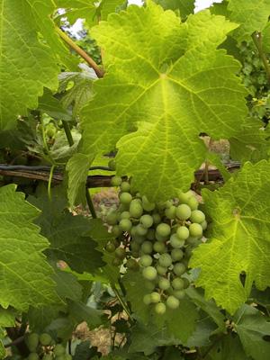 Grape de raisins