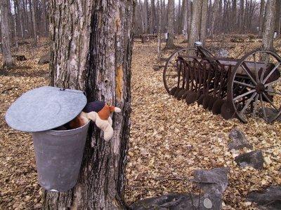 Epaf la truffe dans la sève d'érable