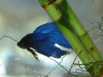Gros plan de Bobol le poisson bleu
