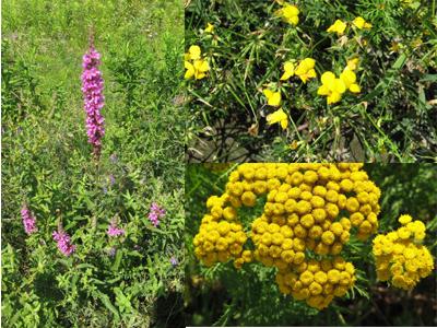 fleurs sauvages non identifiées
